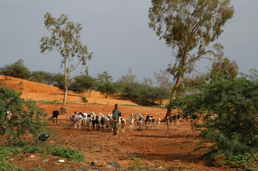 Man in Niger herding cattle.