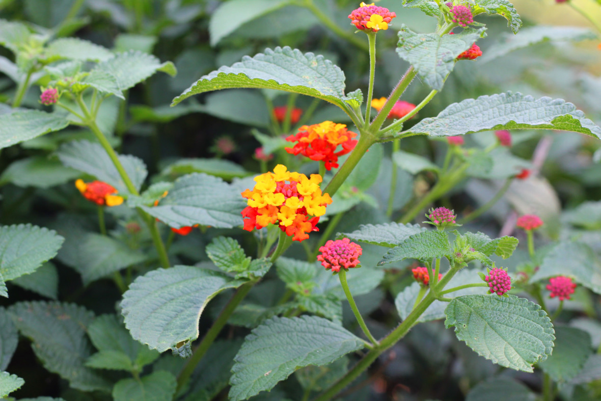 A close up of the malaria-fighting Lantana plant.