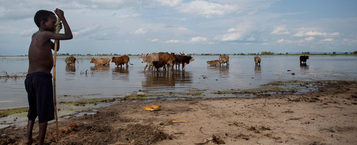 Nsanje, Malawi- A boy watches his cattle as they graze in the flooded maize fields which are now part of Shire River.