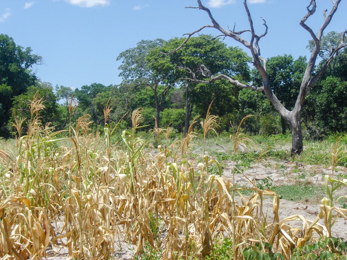 Dying maize in Zambia