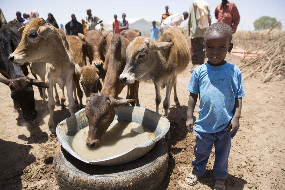 A Somali boy with some cows at a water trough