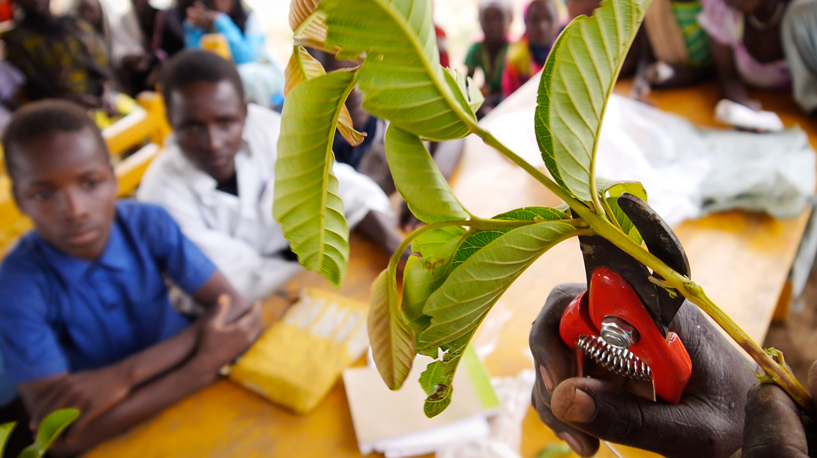 Kids at a nursery in Chad learn about tree grafting.