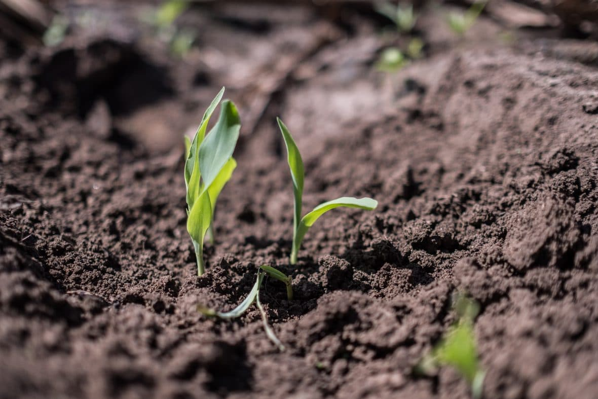 Fresh shoots of maize poke through the earth on Manuele Zivanhane's farm in Ndeja, Mozambique.