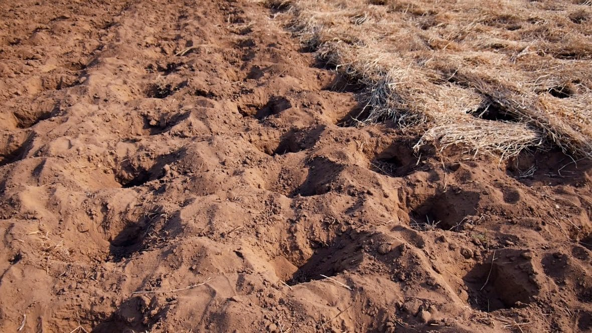 A conservation agriculture plot ready for planting