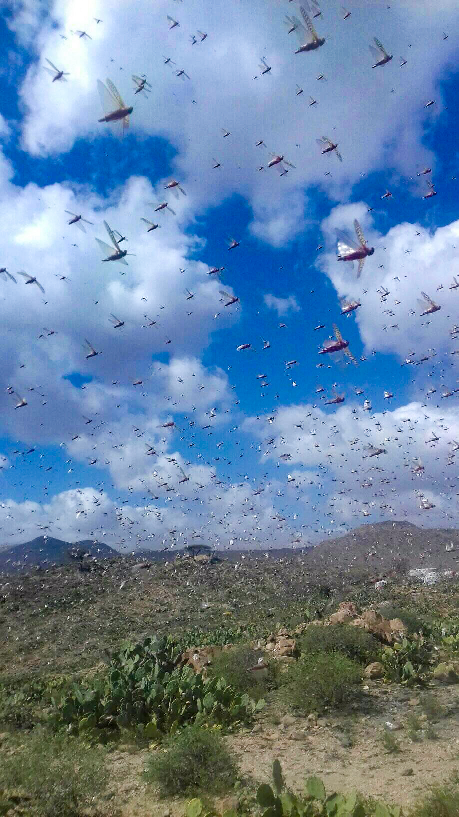 A locust swarm in Somaliland